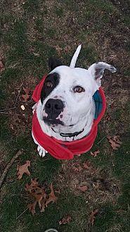 American Staffordshire Terrier/Pointer Mix Dog for adoption in Whitestone, New York - Atlas (Darrin/Davey)