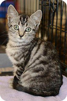 Domestic Shorthair Kitten for adoption in Harrisburg, North Carolina - Jason