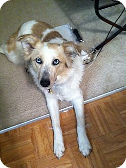 Australian Shepherd Dog for adoption in Van Nuys, California - EMERGENCY FOSTER NEEDED