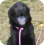 Chow Chow/Labrador Retriever Mix Dog for adoption in Lincolnton, North Carolina - Bear