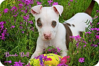 American Pit Bull Terrier Mix Puppy for adoption in Albany, New York - Baby Bonnie