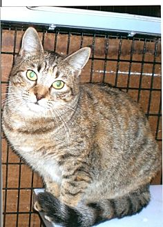 Domestic Shorthair Cat for adoption in West Hills, California - Halo