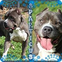 Adopt A Pet :: Sparticus - Tampa, FL
