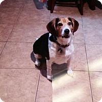 Adopt A Pet :: Rooster - Phoenix, AZ
