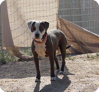 American Bulldog Mix Dog for adoption in Toluca Lake, California - Noel