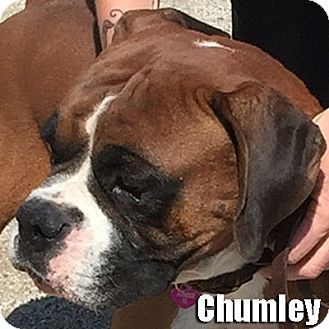 Boxer Dog for adoption in Encino, California - Chumley