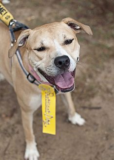 Pit Bull Terrier/Boxer Mix Dog for adoption in Tanner, Alabama - Tina