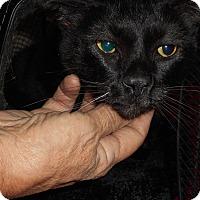 Domestic Shorthair Cat for adoption in Cerritos, California - Damien