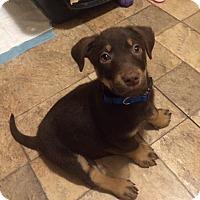 Adopt A Pet :: Gus - Barnegat, NJ