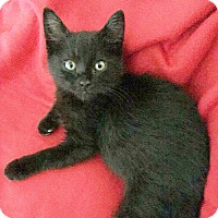 Domestic Shorthair Kitten for adoption in Arlington/Ft Worth, Texas - Monty
