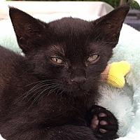 Adopt A Pet :: Hilti - Brooklyn, NY