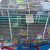 Adopt A Pet :: Gerbils (female) - Greenfield, IN
