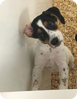 Australian Cattle Dog Mix Puppy for adoption in Cherry Hill, New Jersey - April