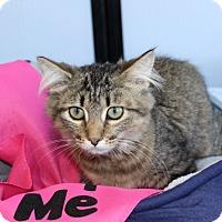 Domestic Mediumhair Kitten for adoption in Las Vegas, Nevada - JADE