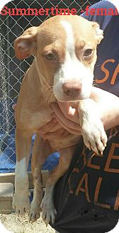 Catahoula Leopard Dog/American Pit Bull Terrier Mix Puppy for adoption in Albany, New York - Summertime