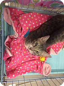 Domestic Shorthair Cat for adoption in Mansfield, Texas - Amalaya