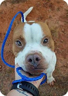 American Staffordshire Terrier/American Bulldog Mix Dog for adoption in Southbury, Connecticut - Homer