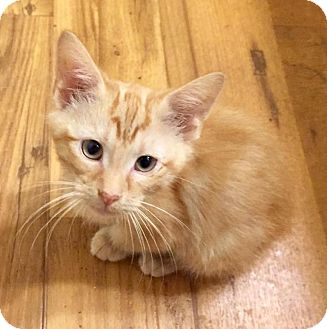 Domestic Shorthair Kitten for adoption in Fort Collins, Colorado - Simba (DENVER)