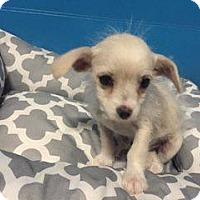 Adopt A Pet :: BLANCA - 8 WEEKS POODLE MIX FE - Mesa, AZ