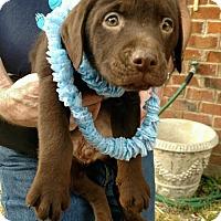 "Adopt A Pet :: BRONSON ""CHOCOLATE BABY"" - Media, PA"