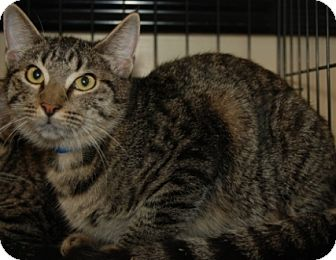 Domestic Shorthair Cat for adoption in Houston, Texas - Millard
