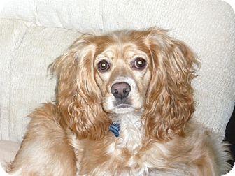 Cocker Spaniel Dog for adoption in Tacoma, Washington - SADIE