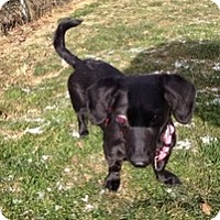 Dachshund Mix Dog for adoption in Spring City, Tennessee - Taffy