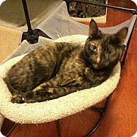 Domestic Shorthair Cat for adoption in Van Nuys, California - Tia