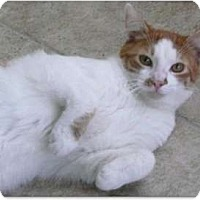 Domestic Shorthair Cat for adoption in Makawao, Hawaii - Frankie