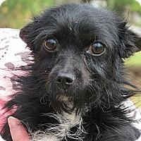 Adopt A Pet :: Pippen - Brattleboro, VT