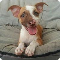 Adopt A Pet :: Brutus - Santa Rosa, CA