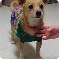 Adopt A Pet :: Foxy - Bellbrook, OH