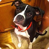 Adopt A Pet :: Daisy Duke - West Hartford, CT