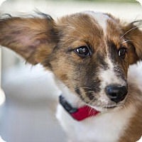 Adopt A Pet :: ABOUT SHERPA Sherpa was 12 weeks old on 6/15/16. H - Boulder, CO