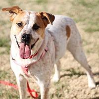 Cattle Dog Mix Dog for adoption in Nixa, Missouri - Kramer #243