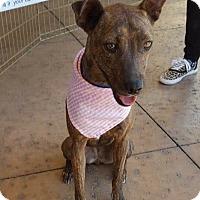 Adopt A Pet :: Tahnee - Las Vegas, NV