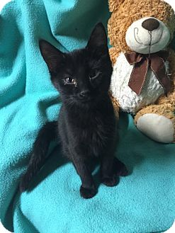 Domestic Shorthair Kitten for adoption in Fishers, Indiana - Jalee