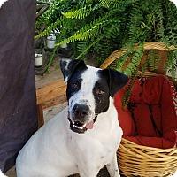 Adopt A Pet :: Molly Mae - New Oxford, PA