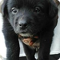 Labrador Retriever Mix Puppy for adoption in Trenton, New Jersey - Chica