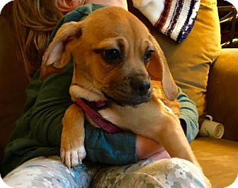 Pug/Beagle Mix Puppy for adoption in St. Louis Park, Minnesota - Rose