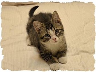 Domestic Shorthair Kitten for adoption in Wooster, Ohio - Jenay