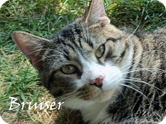 Domestic Shorthair Cat for adoption in Chambersburg, Pennsylvania - Bruiser