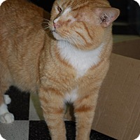 American Shorthair Cat for adoption in Victor, New York - Klaus