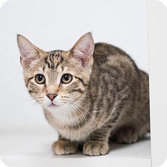 Domestic Shorthair Kitten for adoption in St. Paul, Minnesota - Melody