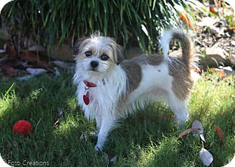 Shih Tzu/Wirehaired Fox Terrier Mix Dog for adoption in Olive Branch, Mississippi - Biff