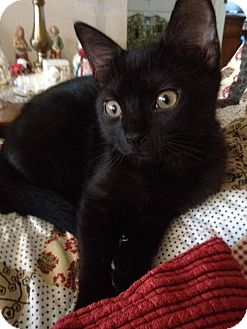 Domestic Shorthair Kitten for adoption in New Smyrna Beach, Florida - Dippy (1/2 price adoptions!)