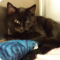Adopt A Pet :: Shadow - Middlebury, CT