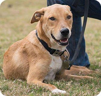 Labrador Retriever/Rhodesian Ridgeback Mix Puppy for adoption in Houston, Texas - Trigger