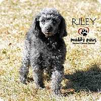 Poodle (Miniature) Dog for adoption in Council Bluffs, Iowa - Riley