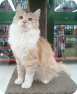 Domestic Longhair Cat for adoption in Phoenix, Arizona - Katy